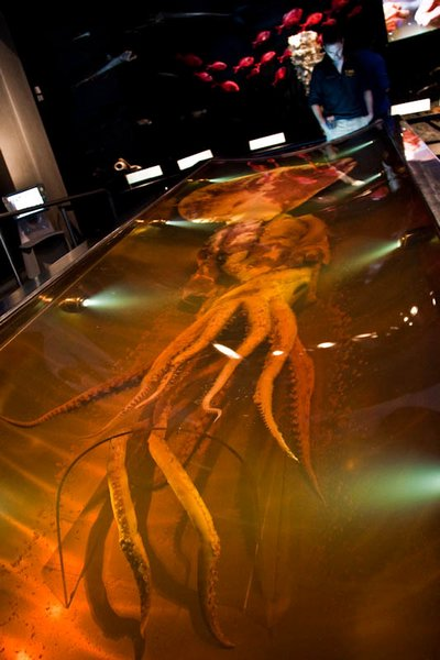 4893347-The_Colossal_Squid_at_Te_Papa_museum_Wellington-0